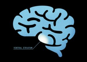 An illustration showing where the ventral striatum is located in the brain